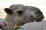 Camel Safari with Optional Bedouin Dinner, Sharm el Sheikh,