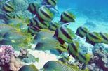 Tiran Island Cruise and Snorkeling, Sharm el Sheikh, Scuba & Snorkelling