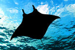 Manta Ray Night Snorkel from Kona, Big Island of Hawaii,