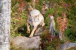 Autumn Visit to Ranua Arctic Zoo from Rovaniemi including Buffet Lunch