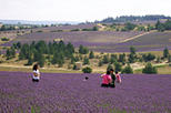 Small Group Provence and Lavender Museum Day Trip from Avignon, Avignon,