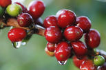 Coffee and Chocolate Walking and Sightseeing Tour at Monteverde Santa Elena