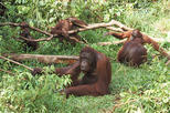 Private Tour: Orangutan Island and Mangrove Forest Day Trip from Penang