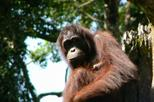 Sandakan sepilok orang utan rehabilitation center full day trip from in sabah 144753