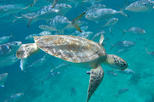 Barbados Glass Bottom Boat Turtle Shipwreck Adventure and Beach Day