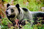 Discover Grizzly Bears from Banff, Banff, Nature & Wildlife