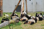 1 Day Customised Tour to Wolong Panda Base (Optional baby Panda holding and volunteering)