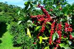 Blue Mountain Coffee Tour from Ocho Rios