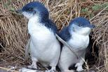 Half Day Phillip Island and Penguins Tour