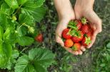 4 in 1 Tour Strawberry Picking and Nami Island with The Garden of Morning Calm