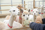 Relaxing Chuncheon City Day Tour with Alpaca World