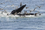 Reykjavik Whale Watching Cruise plus Whales of Iceland Entrance Ticket