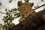 Narlai Leopard Safari and Village Walk Tour from Udaipur with Lunch