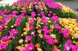 Skip-the-Line: Keukenhof Gardens, Haarlem and Holland Bulb Farm Day Trip from Amsterdam