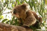 Private Tour: Phillip Island, Penguin Parade and Koala Conservation Centre from Melbourne, ...
