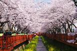 1-Day Visit to the Jinhae Gunhangje Cherry Blossom Festival from Seoul