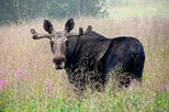 Moose Safari from Bodo, Northern Norway, Meet the Largest Land Animal in Europe