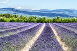 Half-Day Valensole Lavender Tour from Aix-en-Provence