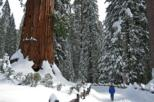 Giant sequoia grove hike or snowshoe in yosemite valley 405739