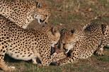 2 Days Okonjima Cheetah and Leopard Tour ( Camping) Namibia