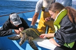 Gray Whales, Sea Turtles and Whale Sharks Expedition