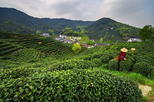 Small Group Tea Picking Day Trip at Hangzhou Dragon Well Tea Village with Lunch