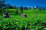 2 Days All inclusive Kandy and Nuwara Eliya Tour from Colombo