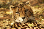 Buyela e-Africa, Day Tour to the Ann Van Dyk Cheetah Centre