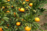 Awajishima Mandarin Orange picking - All you can eat, No time limit !