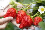 Awajishima Strawberry Picking - 40min All you can eat ! (Souvenir included)