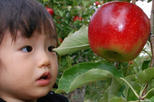 Hiroshima Apple Picking - All you can eat, No time limit ! Yamaue Apple Farm