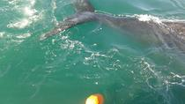 Whale Watching from Hermanus, Hermanus, Dolphin & Whale Watching