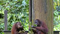 Full-Day Sepilok Orangutan Center and Sandakan City, Kota Kinabalu, Nature & Wildlife