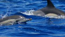 Swim with Dolphins in the Azores, Ponta Delgada, Swim with Dolphins