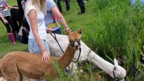 Alpaca Nature Walking Experience in Otterbourne, Southampton, Family Friendly Tours & Activities