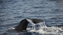 Mega Bite Whale and Dolphin Watching in Dominica, Dominica, 4WD, ATV & Off-Road Tours