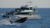 Morning or Afternoon Hervey Bay Whale-Watching Cruise, Hervey Bay, Dolphin & Whale Watching