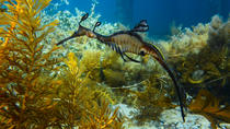 Mornington Peninsula Small-Group Seadragon Snorkel Tour, Mornington Peninsula, Scuba & Snorkelling