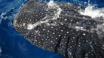 Whale Shark Snorkeling Tour, Cancun, Dolphin & Whale Watching