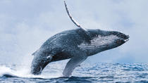 Whale Watching Tour from Reykjavik, Reykjavik, Dolphin & Whale Watching