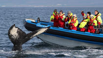 Big Whale Safari and Puffins Tour from Húsavík, North Iceland, Dolphin & Whale Watching