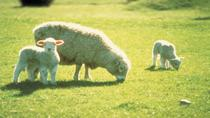 Akaroa Shore Excursion: Banks Peninsula, Christchurch City Tour and Sheep Farm Tour, Akaroa, ...