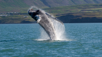Reykjavik Shore Excursion: Whale Safari and Puffin Island Cruise, Reykjavik, Ports of Call Tours