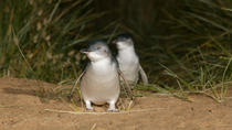 Phillip Island Penguin Small Group Eco Tour from Melbourne, Melbourne, Super Savers