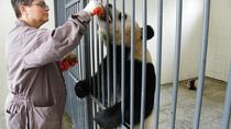 Private Tour: Volunteer for a Day at Dujiangyan Panda Rescue Center from Chengdu, Chengdu, Day Trips