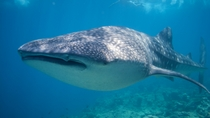 Swim with Whale Sharks in Cancun: Small-Group Snorkeling Tour, Cancun, Scuba & Snorkelling