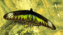 In Search of Rajah Brooke Butterfly from Penang, Penang, Nature & Wildlife