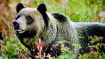 Discover Grizzly Bears from Banff, Banff