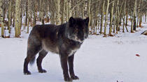 Yamnuska Wolfdog Sanctuary Guided Tour, Banff