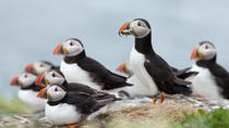 Reykjavik Shore Excursion: Puffin Sightseeing Cruise, Reykjavik, Nature & Wildlife